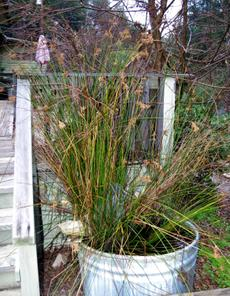Juncus textilus, Basket Rush - grid24_6