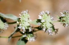 Pycnanthemum californicum, Mountain Mint's flower spike. - grid24_6