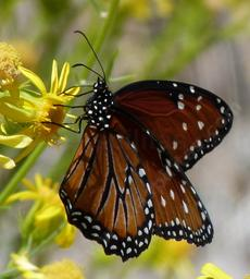 Queen Butterfly on a Butterweed. - grid24_6