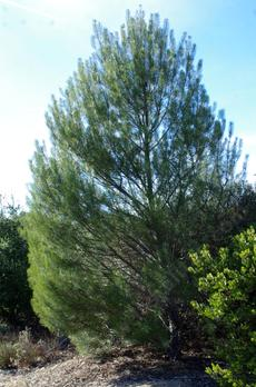 A young Pinus murictata at the Las Pilitas Nursery. - grid24_6