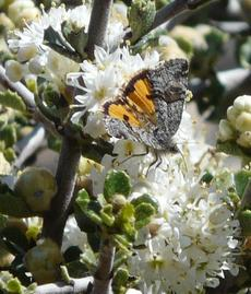 There are about 20 species of Catocala, Underwing Moths in California. I'm not sure which one is on the Ceanothus Snowball flower. The larva live on Oak trees.  - grid24_6
