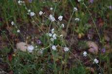 Plagiobothrys nothofulvus (rusty popcornflower) - grid24_6