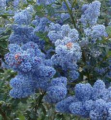 deep blue flowers of the Tassajar Blue