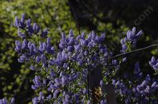 Ceanothus sorediatus Klamath has nice blue flowers. - grid24_6
