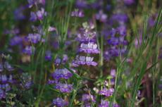 Cchisese Houses, Collinsia heterophylla is a pretty little wildflower. - grid24_6