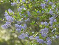 Ceanothus oliganthus makes many of the hillsides blue in spring from Banning to Poway. Drought tolerant to about 6 inches of rainfall, this photo was taken after two 8 inch rainfall years, with our summer heat. - grid24_6