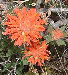 Castilleja affinis in the Cambria forest. - grid24_6