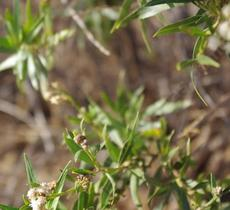 Mule fat, Baccharis viminea flowers in the winds. - grid24_6
