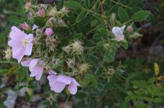 California Rose, Rosa californica - grid24_6