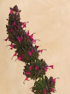 Salvia spathacea Powerline Pink, hummingbird sage