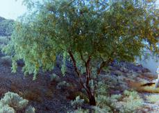 An old photo of  Prosopis pubescens, Screwbean Mesquite.