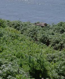 This Yarrow grows on coastal bluffs and sand dunes. Bluffy the dune slayer? - grid24_6