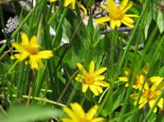 Arnica chamissonis,  Chamisso arnica, up in the Sierras.