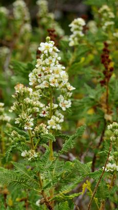 Chamaebatiaria millefolium, Fern Bush or Desert Sweet in flower up in Inyo National Forest.
