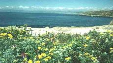 Coastal Bluff with Eriophyllum staechadifolium artemisiaefolium,  Yellow Yarrow - grid24_6