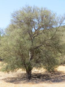 A great dry land small tree.