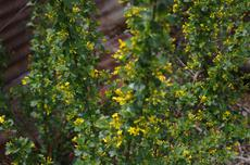 Golden Penny, Ribes aureum gracillimum, is a bigger and better Golden Currant.