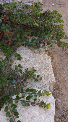 Arctostaphylos uva-ursi 'point reyes' growing on top of a rockwall.