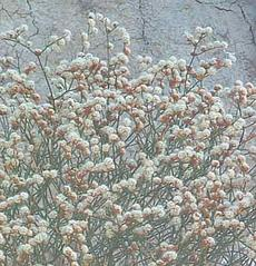 Eriogonum heermannii, Heerman Buckwheat with it's reddish white flowers. - grid24_6