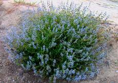 Salvia Daras Choice has blue flowers - grid24_6