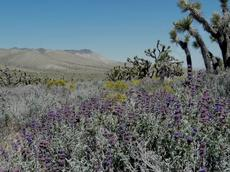 Salvia dorrii, purple desert sage with a sea of butterflies. To bad the Joshua Trees will not support a hammock.  - grid24_6