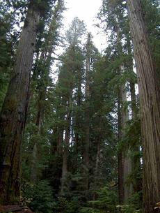 Looking up into the Coastal redwoods along the California north coast.  California's Coastal Redwood forest  is  dominated by Sequoia sempervirens - grid24_6