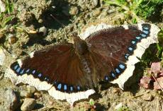 Mourning Cloak Butterfly sipping mud - grid24_6