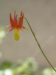 Aquilegia formosa Crimson Columbine, Western Columbine, or  Red Columbine flower