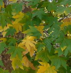 Acer macrophyllum, Big Leaf Maple with fall leaf color - grid24_6