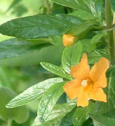 The Sierra form of sticky monkey flower