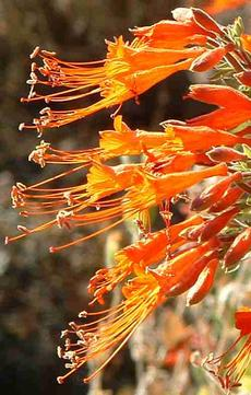 California fuchsia flowers - grid24_6