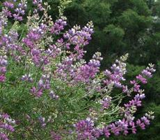 Silver Bush Lupine has a mix of pastels and is a stunner in a Southern California Garden. This lupine does not like water and is very drought tolerant. - grid24_6