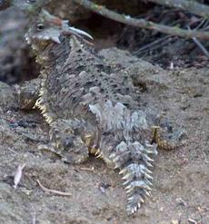 A Blainville's (Coast) Horned Lizard Phrynosoma (Anota) coronatum sometimes called a horny toad. Term of endearment expressed by wife? - grid24_6