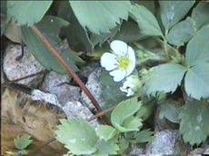 Fragaria 	virginiana platypetala grows in the mountains but will make a flat ground cover in a home garden. - grid24_6