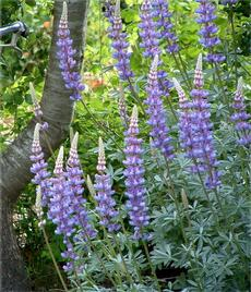 Grape Soda Lupine in our garden - grid24_6