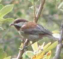 Chestnut-backed Chickadee, Poecile rufescens - grid24_6