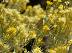 Orange or Sulfur butterfly in the Rabbitbrush. - grid24_6
