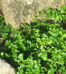 Yerba Buena, Satureja douglasii is a beautiful green groundcover  in part shade with rocks.