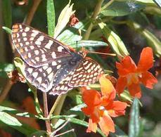 Checkerspot Buterfly on a Diplacus punceus - grid24_6