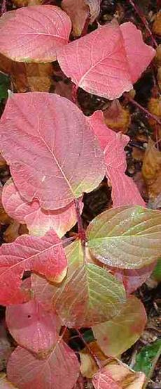Cornus californica, California Dogwood fall COLOR  - grid24_6