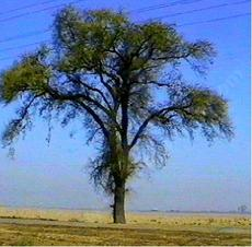 A valley oak tree in the San Joaquin valley around Riverdale. - grid24_6