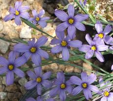 Sisyrinchium bellum, Blue-Eyed Grass flowers are lavender blue. - grid24_6