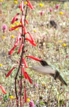 These Penstemon centranthifolius, or Scarlet Bugler, flowers, are being visited by an Anna's Hummingbird - grid24_6