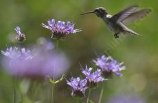 A young Anna Hummingbird on Salvia Alpine, Cleveland Sage. Cleveland Sage is drought resistant and can look good with 7-8 inches of rainfall. Your native garden needs very little water in a drought  to  look and smell good. Tolerant of much abuse. - grid24_6