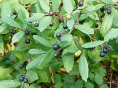 Coffeeberry, Rhamnus californica,  with berries.  Native plants attract native birds. - grid24_6