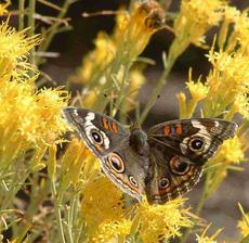 Buckeye Butterfly on a Rabbitbrush flower. This nondescript native plant comes alive in fall, butterflies are commonly on it  until frost. - grid24_6