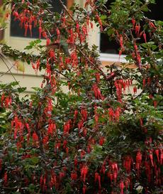 Ribes specosum, Fuchsia flowered Gooseberry,  in flower with Anna Hummingbird up in left corner