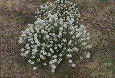 Sweet Alysum (Lobularia maritima) is native to the Mediterranean area and east to Armenia, North into France. Sweet Alysum is an annual mustard that can cover large areas with its weedy habit, then die in midsummer.  A ruderal. - grid24_6