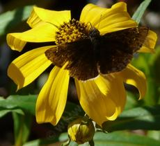 Bidens laevis, Joaquin Sunflower  with a Dusky Butterfly - grid24_6