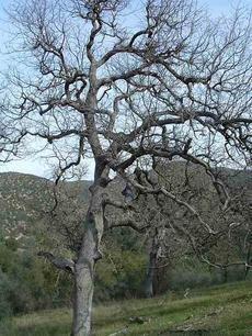 Blue Oak - Quercus douglasii loses leaves in winter - grid24_6